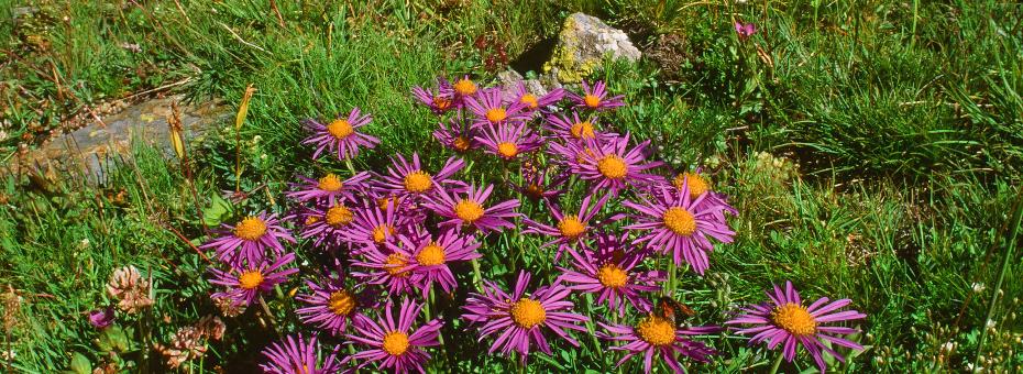 valle aosta flora aster alpinus